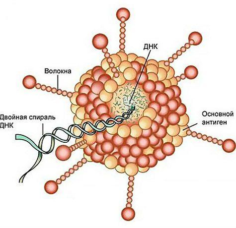 Строение аденовируса