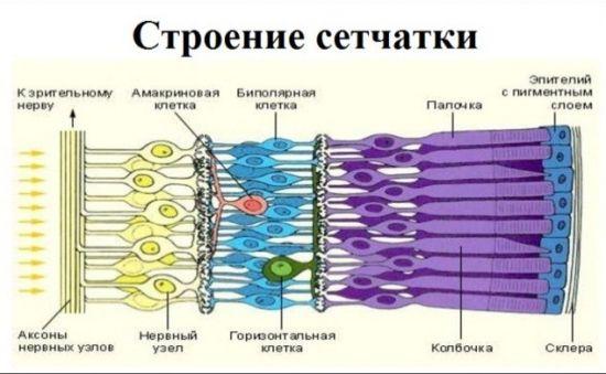 Строение сетчатки