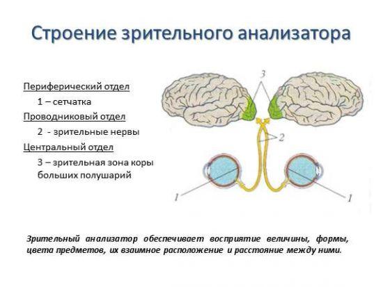 Строение зрительного анализатора