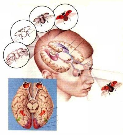 Восприятие головным мозгом зрительных образов