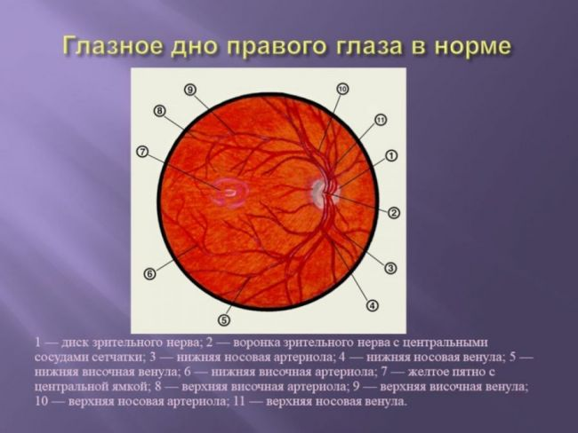 Глазное дно в норме