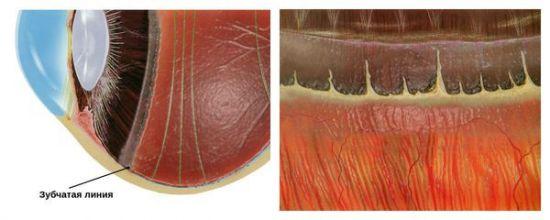 Зубчатая линия у сетчатки